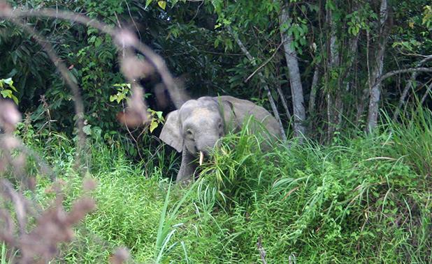 olifanten-in-maleisie-1
