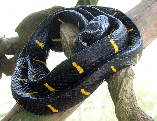slangen-in-maleisie-4