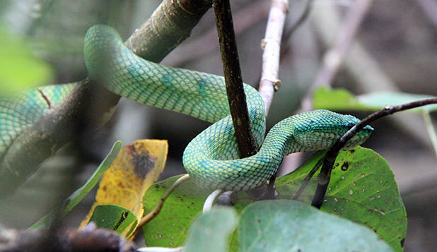 Wagner's Pit Viper