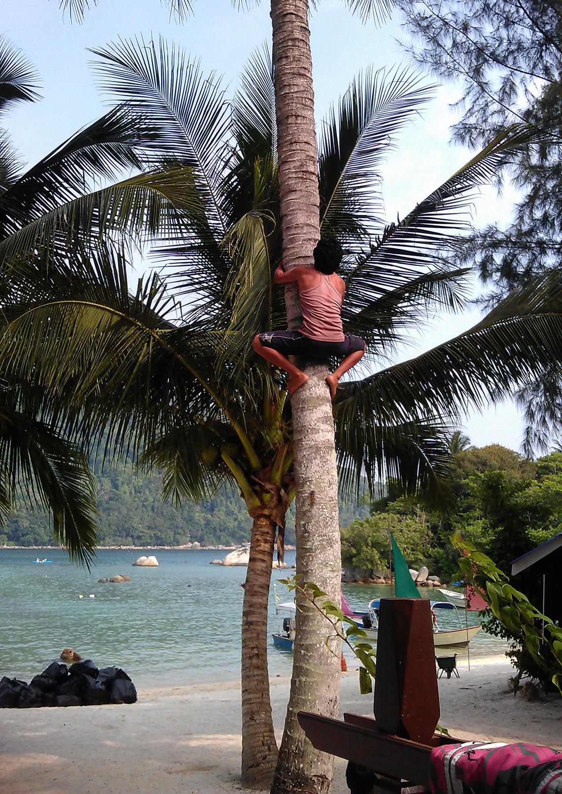 kokosnoten-plukken-op-perhentian